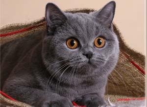 Wyjątkowy Kot Brytyjski Kobiece Spojrzenie Na świat
