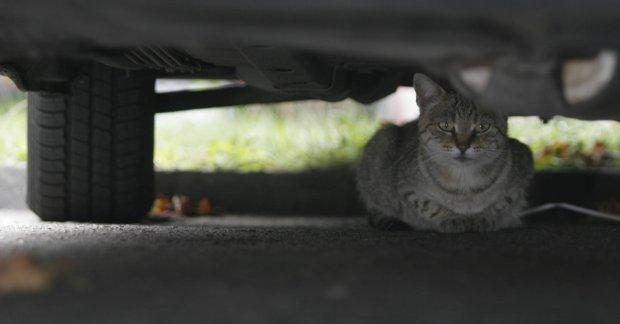 kot niewychodzący